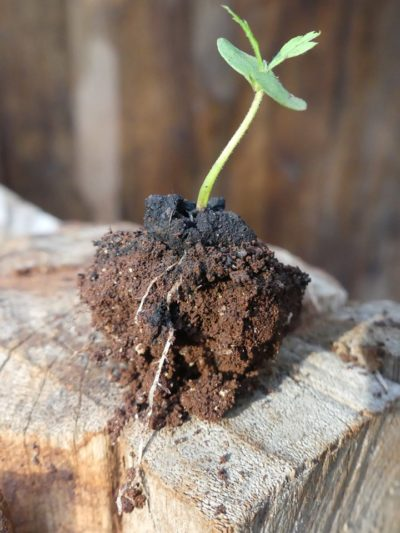 seedball sprout