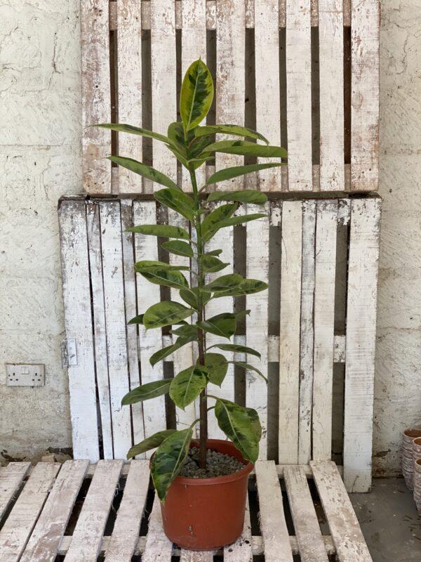 Ficus elastica schrijveriana L